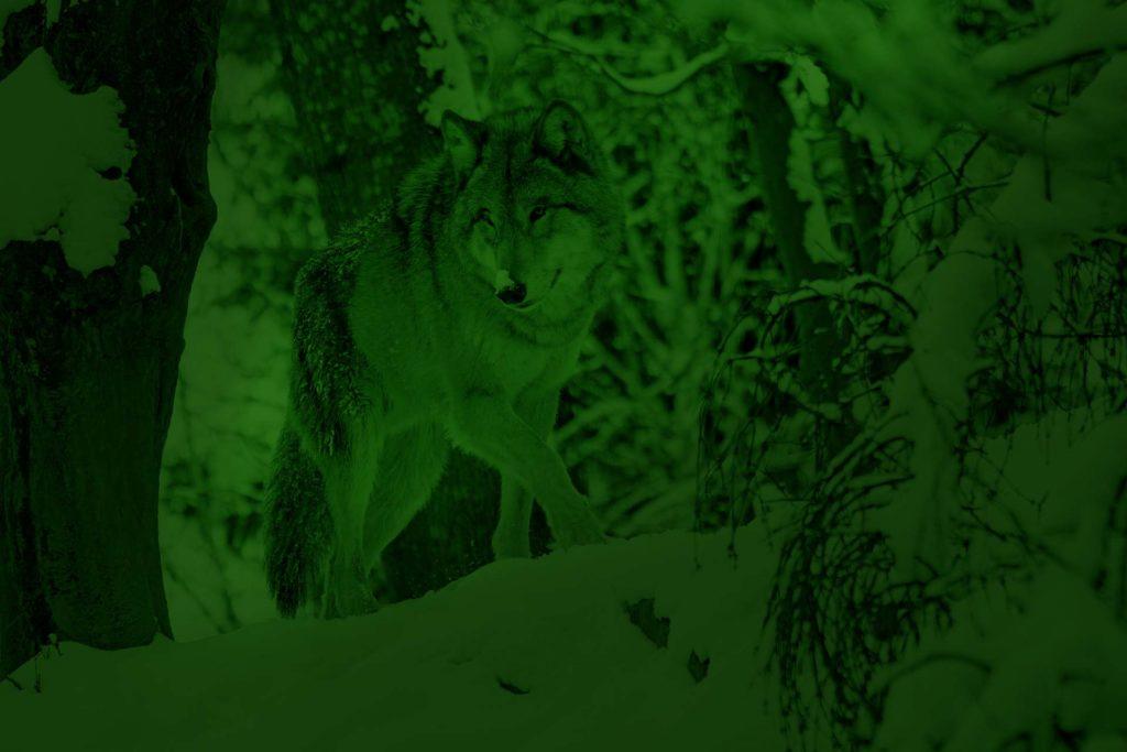 Loup vue à partir d'un appareil de vision nocturne